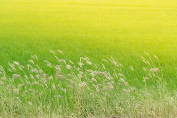 Grass flower beside the way.