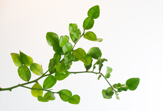 Branches of the Bergamot tree On a white background, no shadows