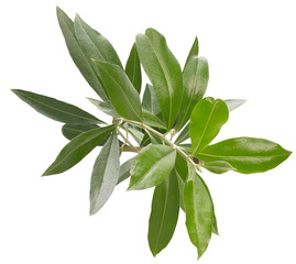 olive branch isolated on a white background