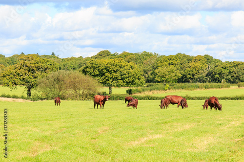 Cows in the Sussex Countryside