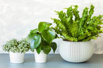 houseplant Asplenium nidus, peperomia and fittonia in flowerpot
