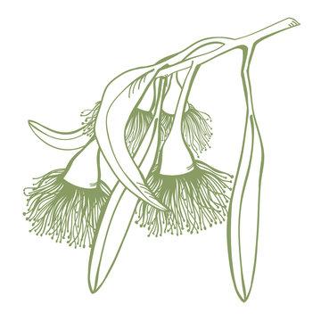 Hand drawn Flowering Gumtree
