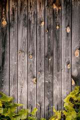 old brown - gray wooden wall and fresh green leaves of grapes