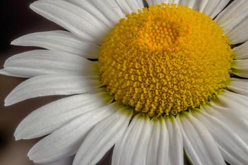 Macro image of white daisy on dark background.