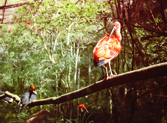 Scarlet Ibis and toucan at Parque das Aves, Brazil