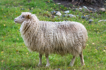 Side view of a white sheep with very long wool