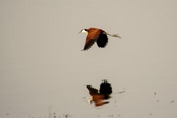 african jacana in flight