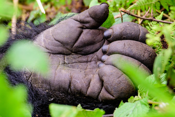hand of a silverback