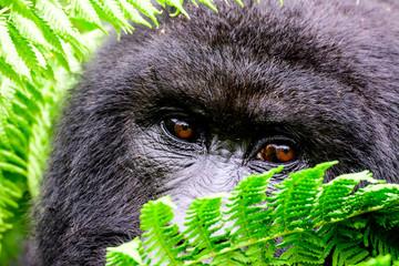 eyes of a mountain gorilla peering through the foliage