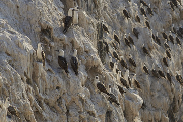Group of Peruvian Booby (Sula variegata) on guano covered cliffs on the Pacific coast of northern Chile.