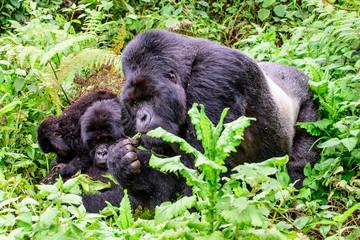 Silverback mountain gorilla feeding with family