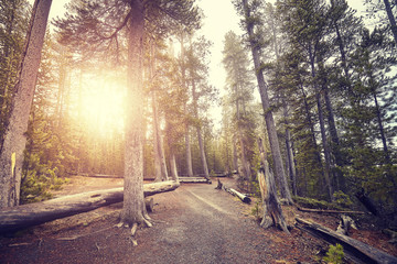 Vintage toned path in Yellowstone National Park forest at sunset, USA.