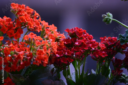 Kalanchoe Fleur Macro Orage Stock Photo And Royalty Free Images On