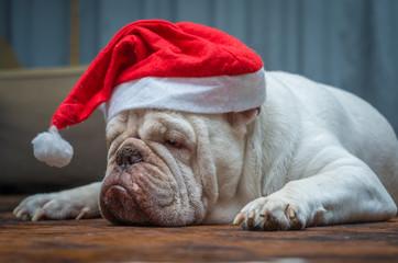 Cute Dog z Santa Claus cap, Buldog angielski przebrany za Świętego Mikołaja, ubrania świąteczne.