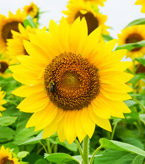 A Golden Yellow Sunflower blooming with a Honey Bee