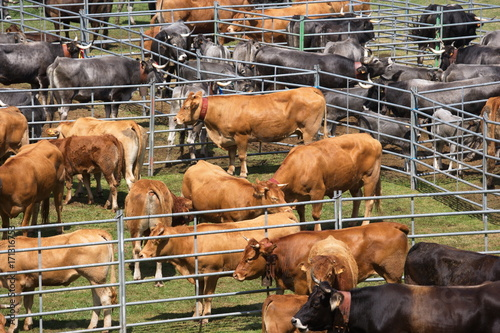 bovini in un recinto