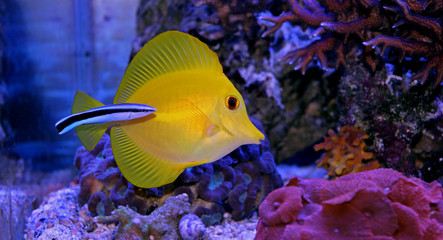 Yellow tang cleaned by Doctor wrasse