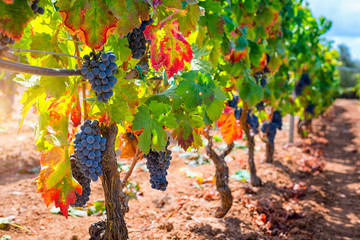Red wine grapes at sunset on vineyards in autumn harvest. Ripe grapes in fall.