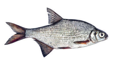 Fish isolated bream