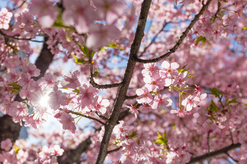 sunlight ray through pink Sakura tree blossom branches and blue sky background