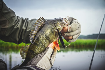 Perch in fisherman hands.