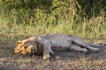 Big Lion male lying on the ground and looking at the camera