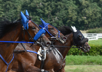 Portrait of a three horses trotter breed on speed on racetrack. Harness horse racing.