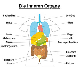 Inner organs - schematic chart with colored organs and appropriate names in german language - isolated vector illustration on white background.