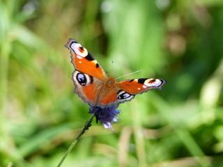 papillon gros plan