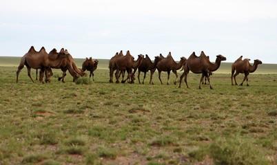 herd of camels in gobi desert