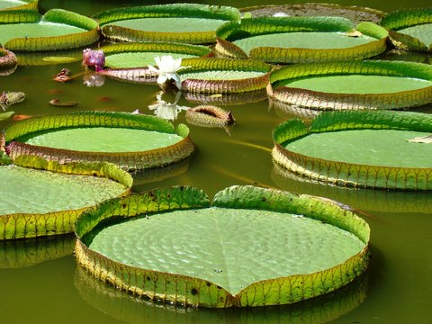 Water Lily Large Leaves Floating On Water During Sunny Day
