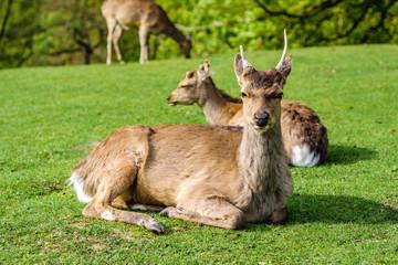 Multiple deer in Aarhus open air deer park. Denmark