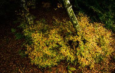 Colorful bush, autumn colors in Vodskov forest, Denmark