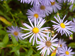 close up of wet petals in garden of Aster amellus (Italian Asters)