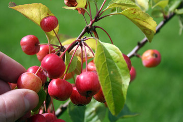 Paradise apples growing on a tree