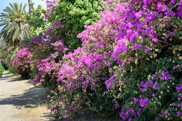 Bougainvillea flower in park of Rhodes town on Rhodes island, Greece