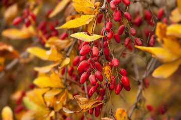Beautiful ripe red berries on the bushes with the yellow leaves in the fall.