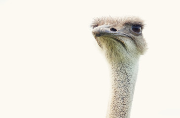 ostrich over white background, summer time
