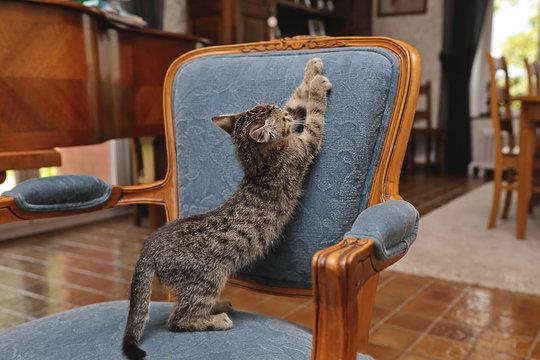 chaton tigré tabby dans intérieur maison déchirant fauteuil