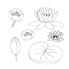 Vector illustration of lotus bud and leaf on white background