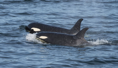 Orca Togetherness, Swimming in Tandem