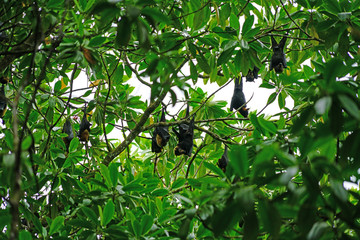Bats hanging down from trees in the Daintree Rainforest in Far North Queensland, Australia