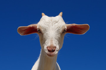 young goat farm animal agriculture livestock white fur