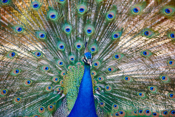 Peacock with colorful spread feathers. Animal background
