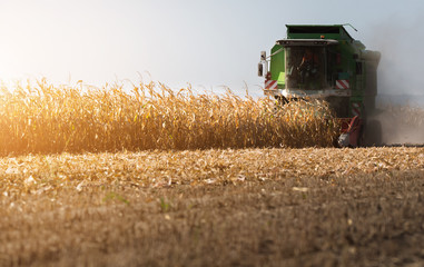 Harvesting of corn field with combine