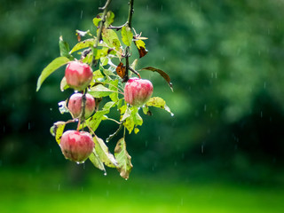 Verregnete Apfelernte
