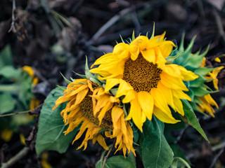 Welke Sonnenblume - Sommerende