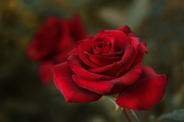 Close up of red rose in the garden in dark background.