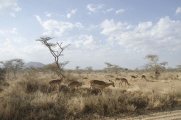 Africa, gazzelle, pascolo, safari, Tanzania, Serengeti, savana, steppa, paesaggio