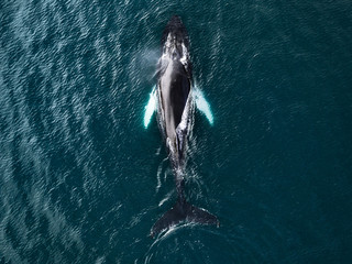 Humpback whale in the ocean in north Iceland from above